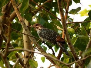 cuckoo-574794_640